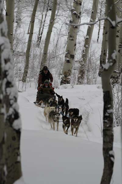 Sled Dogs in the Aspen